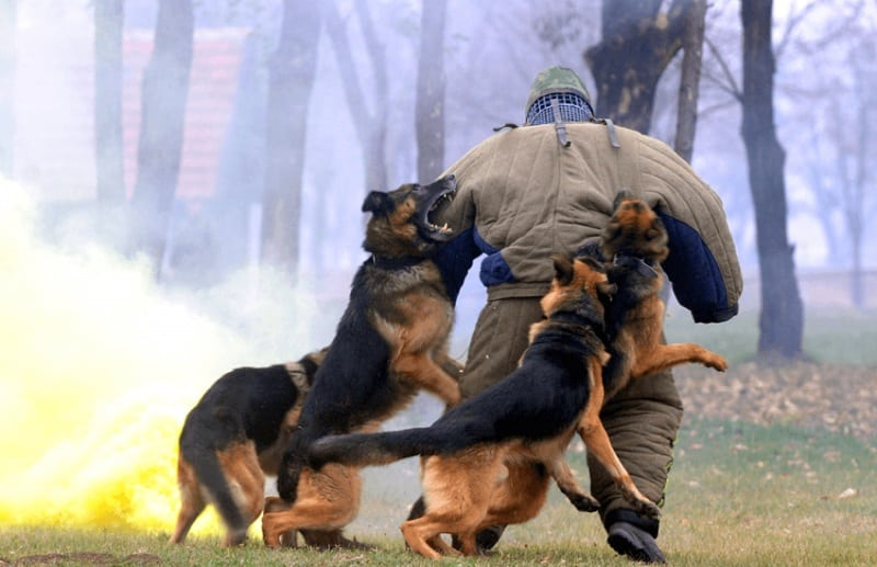 Attack Trained Dogs For Sale Uk